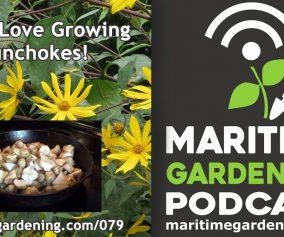 Maritime Gardening Podcast - Why I Love Growing Sunchokes!