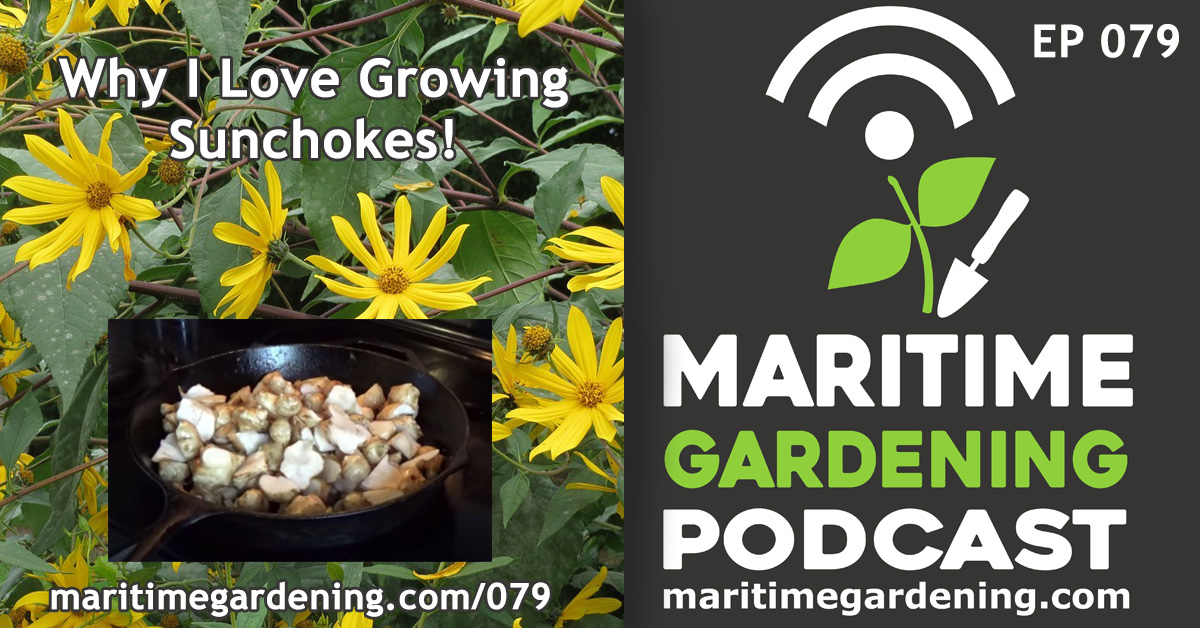 Maritime Gardening Podcast - Why I Love Growing Sunchokes!